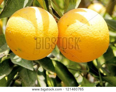 Mature Oranges on Citrus plant in Neve Monosson near Or Yehuda Israel