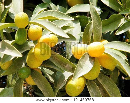 Mature small lemons growing on Citrus plant in Neve Monosson near Or Yehuda Israel