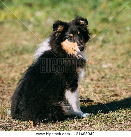 Shetland, Sheltie, Collie Puppy Outdoor