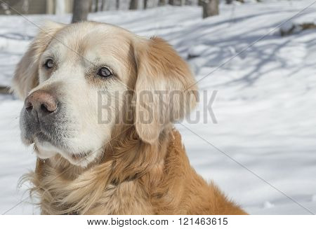 Close up of a Golden Retreivers' gentle look on a snow covered forest background in winter.