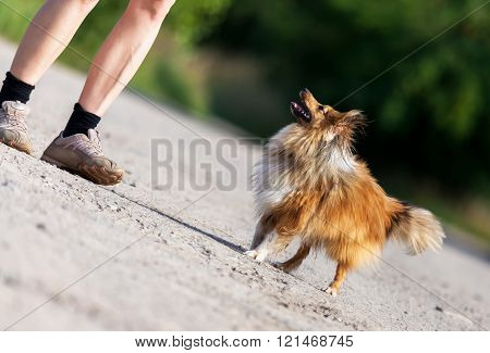 shetland sheepdog looks to his owner