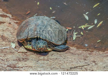 aquatic turtle crawled out of the pond at the public park
