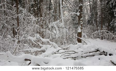 Winter Landscape Of Riparian Stand