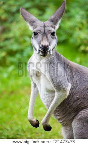 grey kangaroo looks to the camera