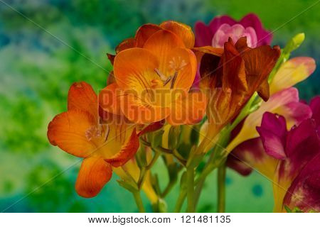 Freesia flowers on bright background.