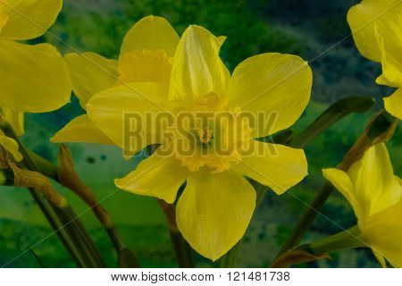 Narcissus Flowers On The Bright Background