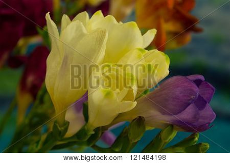 Freesia flowers on bright background