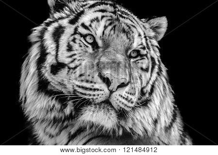 Powerful high contrast black and white tiger face