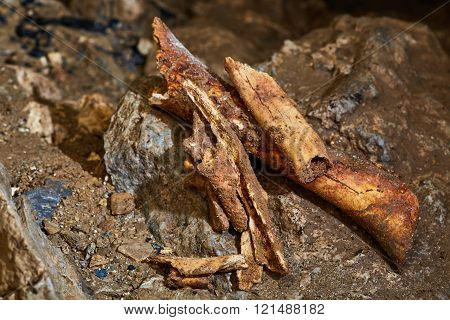 Cave Bear Fossils Closeup