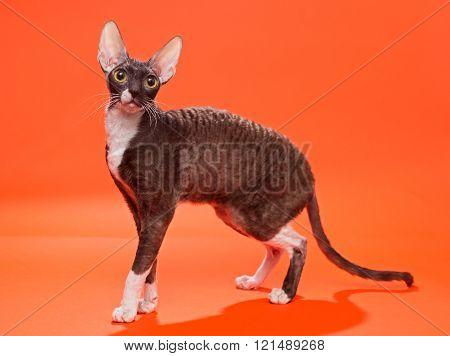 Cat Cornish Rex