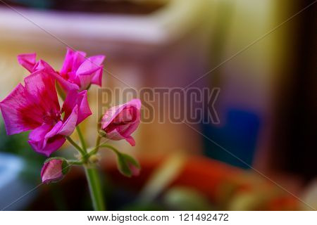 little pink flowers, geranium flower, blossoming pink flower on the windowsill, indoor plants