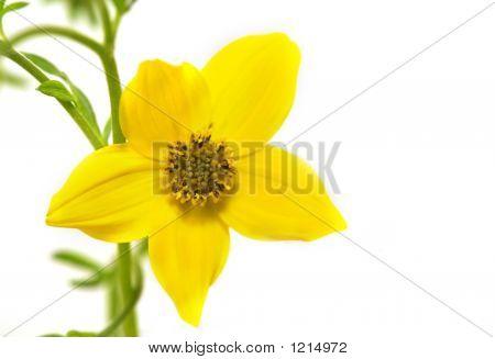 Bidens Flower