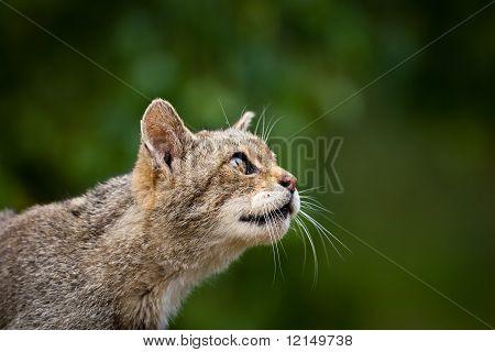 Scottish Wildcat Profile