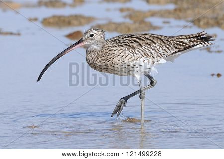 Walking Curlew At Sharm El-sheikh Beach Of Red Sea