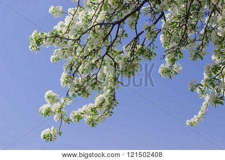 Flowering branches of pear against the sky