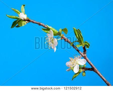 Blossom Apple Twig