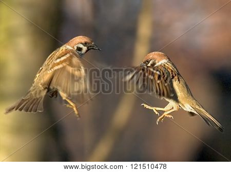 Matrix Of Tree Sparrows