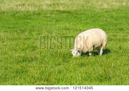 Sheep Eats Green Grass At Farm