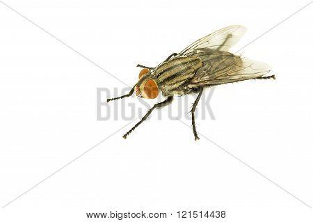 Hosusefly on white isolated background