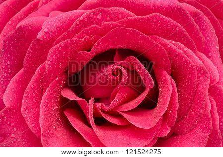 Bright Pink Rose Closeup