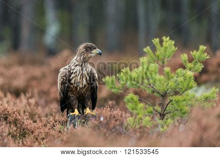 White-tailed eagle (Haliaeetus albicilla) on the ground. ** Note: Visible grain at 100%, best at smaller sizes