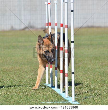 German Shepherd At A Dog Agility Trial