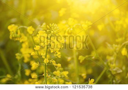 Rapeseed spring flowers