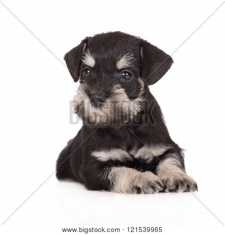 miniature schnauzer puppy on white