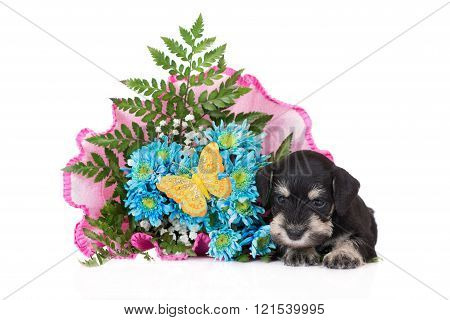 schnauzer puppy with flower bouquet