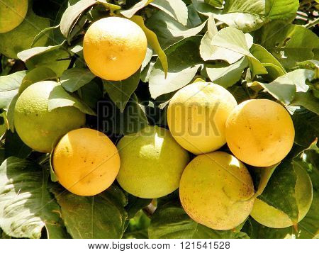 Yellow and Green Oranges in Or Yehuda Israel