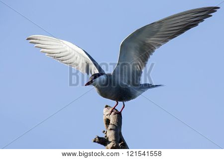 Whiskered Tern In Flight With Open Wings