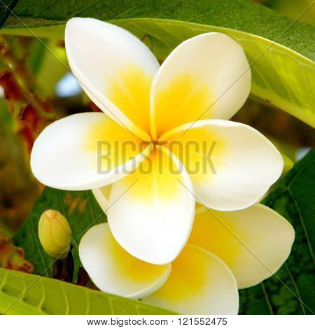 White Frangipani Flower on a green background in Or Yehuda Israel