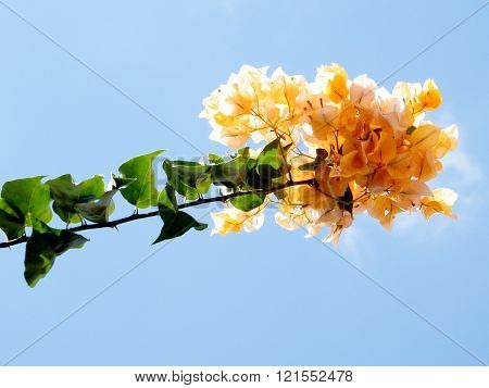 Branch of Yellow Bougainvillia flowers in Or Yehuda Israel