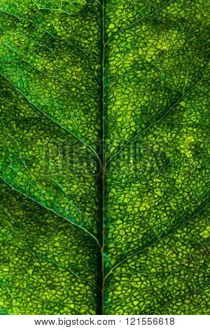 Organic abstract background closeup. Rose leaf macro.