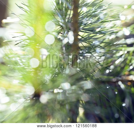 wet forest tree throught sunlight macro, drops of rain water on pine needle