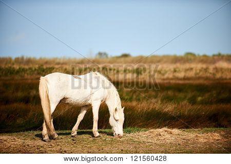Beautiful White Horse Of Camargue