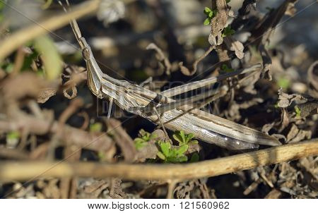 Stick-insect Cricket