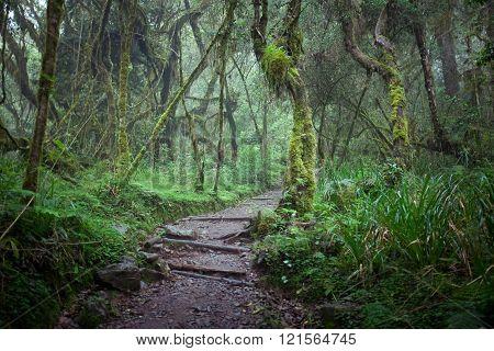 Path In Jungle Rainforest, Machame Route, Kilimanjaro