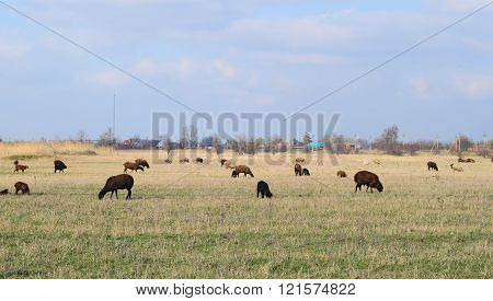 Sheep In The Pasture