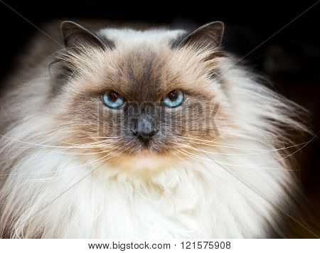 Beautiful Neva Masquerade cat portrait. Adult purebred siberian cat photographed on black background.