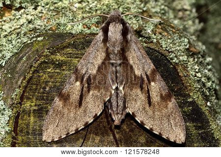 Pine hawk-moth (Hyloicus pinastri) from above
