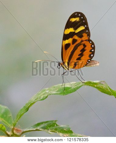 Tigerwing (mechanitis)  butterfly perched on a leaf in Panama