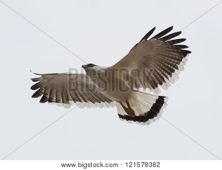 A White Hawk (Pseudastur albicollis) from Panama soaring on a white background