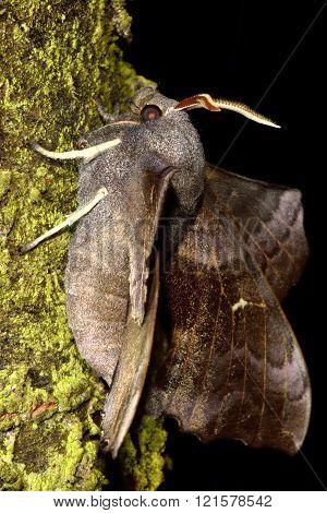 Poplar hawk-moth (Laothoe populi) in profile