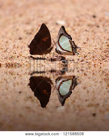 The Indian Yellow Nawab butterfly (Polyura jalysus jalysus) with Common Yeoman butterfly