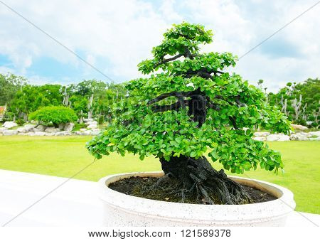 Landscape view of green bonsai in park