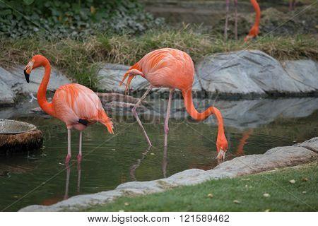 American Flamingos ( Phoenicopterus Ruber Ruber)