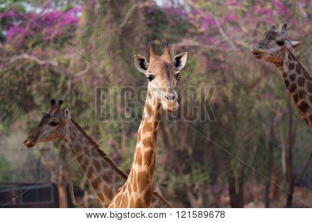 Giraffe head with neck , (giraffa camelopardalis)