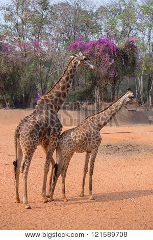 giraffe (giraffa camelopardalis) standing on the ground
