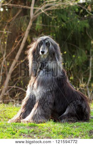 Dog Afghan Hound Sitting